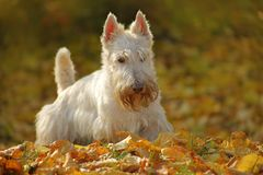 White wheaten Scottish terrier, sitting on gravel road with orange leaves during autumn, yellow tree forest in background. Dog in. White wheaten Scottish terrier stock photography