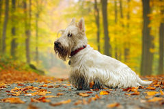 White (wheaten) scottish terrier, sitting on gravel road with orange leaves during autumn, yellow tree forest Stock Photos