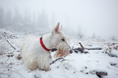 White wheaten Scottish terrier, sitting on the snow during winter. Winter fog with snow, beautiful dog with red collar. Czech fore. St stock photography