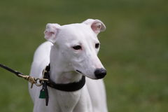 White whippet Stock Images