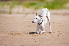 White whippet dog bows down Stock Images