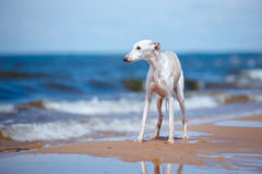White whippet dog standing on a beach Royalty Free Stock Photography