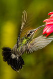 White-whiskered Hermit. On a flower, Ecuador Royalty Free Stock Photography