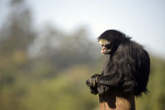 White-whiskered spider monkey sitting on top of a trunk. White-whiskered spider monkey, Ateles marginatus, one of the species of the family Talidae, known for Royalty Free Stock Image