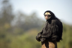 White-whiskered spider monkey sitting on top of a trunk Royalty Free Stock Photography