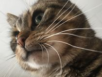 White whiskers. Tiger striped cat with green eyes and white whiskers royalty free stock images