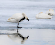 White on White. Trumpeter Swans at the Bear River Migratory Bird Refuge in Utah Stock Photo