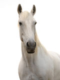 White on white. Light grey horse agains white background Stock Images