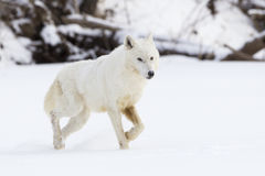 White on white Arctic wolf Stock Photos