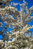 White White Cherry Blossom in Santa Fe, New Mexico stock photos