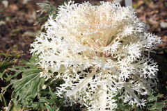 White Ornamental Cabbage Royalty Free Stock Images