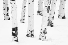 White on White Winter Aspens. Black and white image of the white bark of aspens surrounded by snow during a Montana winter Royalty Free Stock Photography