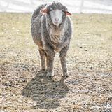 White Whooly Sheep with Ears sticking Out. A white whooly sheep with it`s pink ears sticking out with backlighting. It`s furry coat keeping it warm in the winter royalty free stock image
