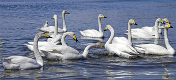 White whooper swan Stock Photo