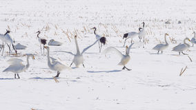 White Whooper Swan spread wings in clear blue sky Royalty Free Stock Images