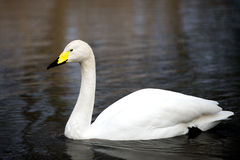 White Whooper Swan swimming at the lake in London Stock Photos
