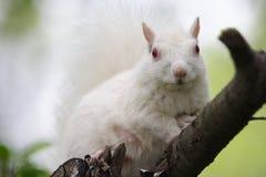 white wiewiórka Zdjęcia Stock