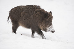White wild boar Stock Photography