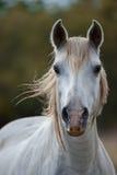 White wild camargue horse. Portrait of a white camargue horse Royalty Free Stock Photos