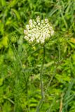 Wild Warrot - Daucus carota Royalty Free Stock Image