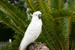 White wild Cockatoo bird in jungle. White Cockatoo posing in front of tropical palm trees Royalty Free Stock Photos