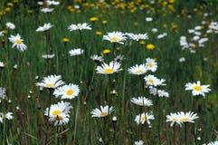 White wild daisies Royalty Free Stock Images