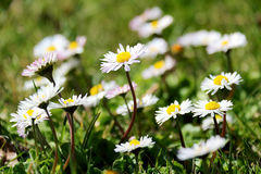 White And Wild Daisy Field. With a Sunny Day Light Stock Images