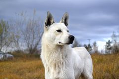 White wild dog in nature Royalty Free Stock Photography