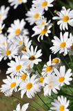 White daisies and bees Stock Photography