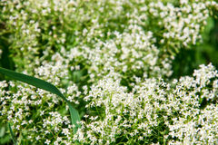 White wild flower in field close up Royalty Free Stock Photography