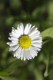 White Wild Flower Stock Photo