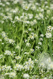 White wild flower spring Royalty Free Stock Image