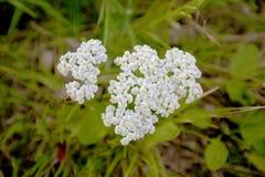 White wild flower Stock Photos