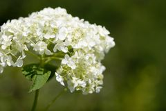White wild flowers Royalty Free Stock Image