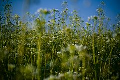 White wild flowers Stock Photography