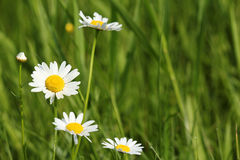 White wild flowers Stock Photo