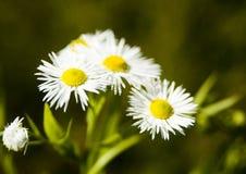 White wild flowers. Small white wild flowers growing outside Stock Photos