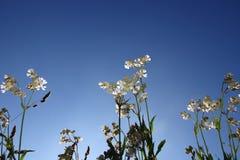 White wild flowers royalty free stock photos