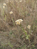 White wild flowers in the autumn field in  pastel tones. White wild flowers in the autumn field in beige pastel tones Stock Photo