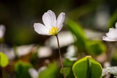 White wild flowers blooming. Wood sorrel Royalty Free Stock Photography