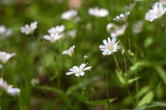 White wild flowers - chickweed Royalty Free Stock Image