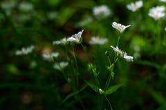 White wild flowers - chickweed Royalty Free Stock Photos
