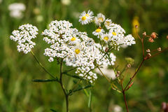 White wild flowers Royalty Free Stock Images