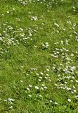 White wild flowers and green grass Royalty Free Stock Photography