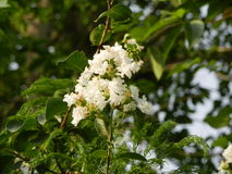 White Wild Flowers of India Royalty Free Stock Images