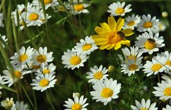 White wild flowers with insects royalty free stock photography