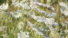 White wild flowers meadow stock footage