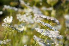 White wild flowers meadow Royalty Free Stock Image