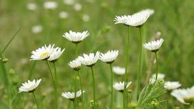 White wild flowers nature stock video