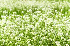 Wild white field flowers in the meadow at sunny summer day, background texture. White wild flowers outdoor in the field in sunlights, background texture stock image
